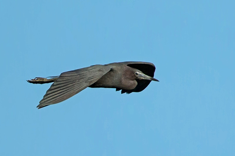 Little Blue Heorn flying over Bird City.