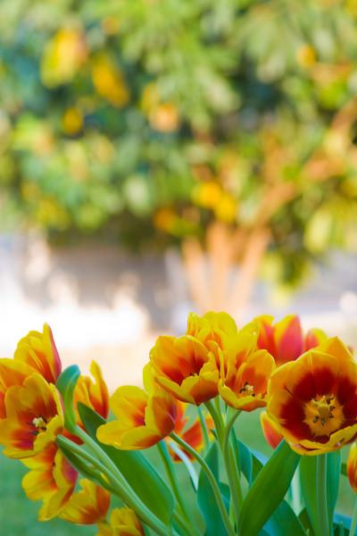 Tulips outdoor_17.jpg