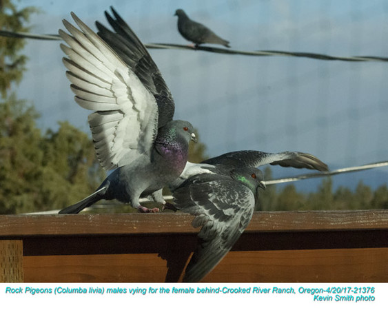 Rock Pigeons M21376.jpg
