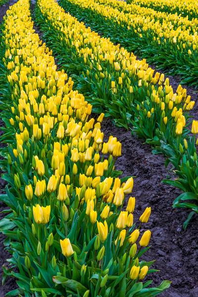 Tulips with cloudy sky-7.jpg
