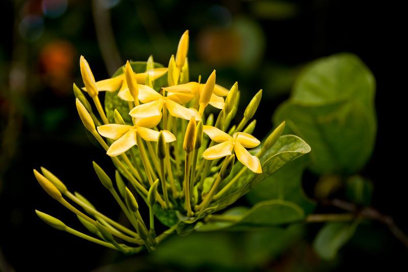 Cuba botanical reserve yellow flowers 6986.jpg