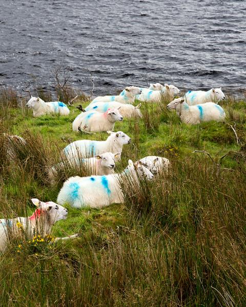 Glencar sheep