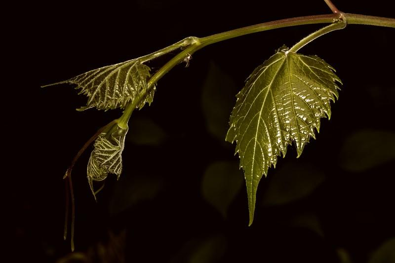 DSC_1860 Grape Vine  New Shoot +Spider PS- LL NEF CFX424-80-4.jpg
