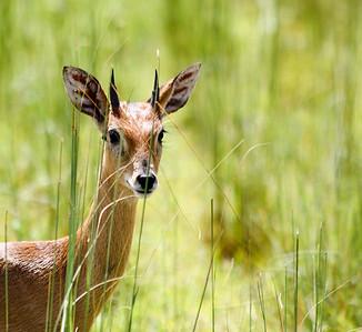 Young Ugandan Kob. Queen Elizabeth National Park, Uganda.