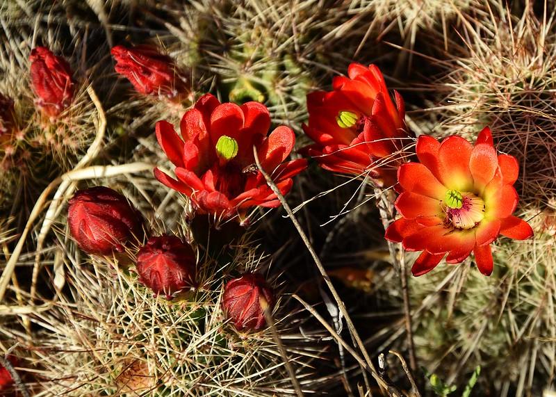 NEA_6812-7x5-Cactus Flower.jpg