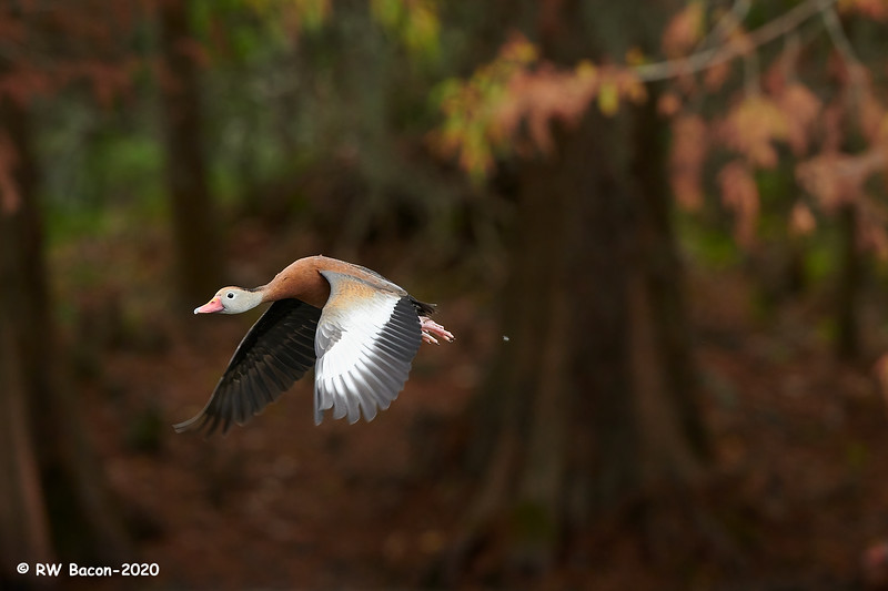Autumn Black-bellied Whistling Duck.jpg