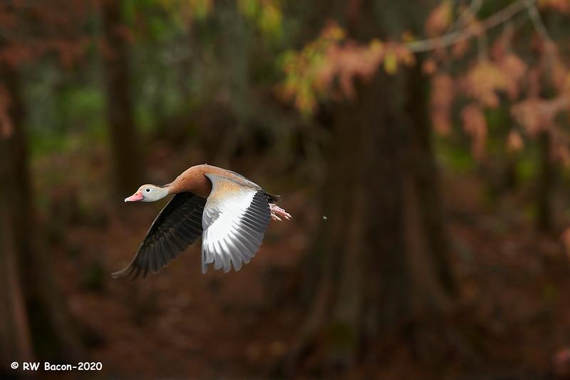 Autumn Black-bellied Whistling Duck.jpg