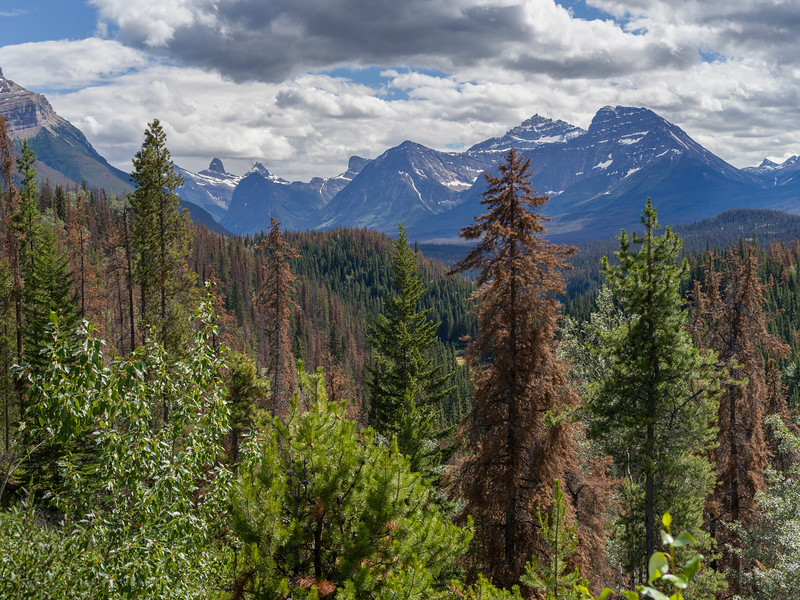 Pine forest with mountains in the background, Icefields Parkway, Jasper, Alberta, Canada