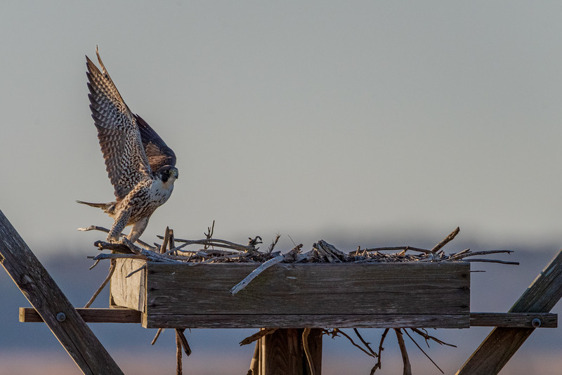2021-Week 12 - The Osprey's are back at Forsythe NWR.jpg