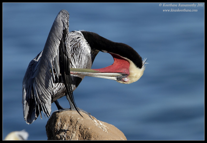 Brown Pelican in breeding plumage preening, La Jolla Cove, San Diego County, California, December 2011