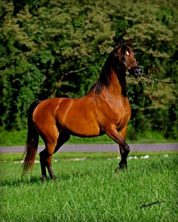 Pannonia Arabians