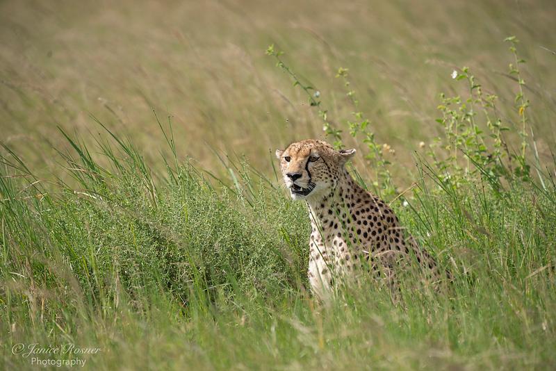 Cheetah Watching