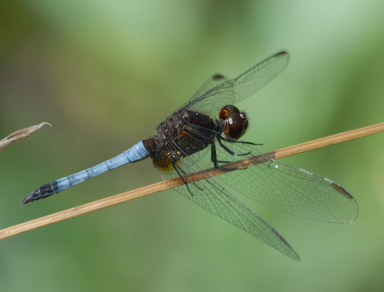 Erythrodiplax fusca (Red-faced  Dragonlet), Mexico, Tamaulipas