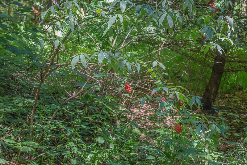 Sorbier des oiseaux (Sorbus aucuparia)
