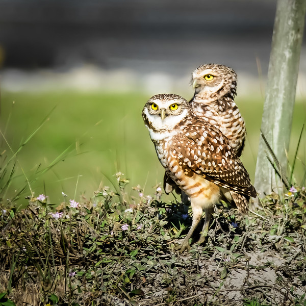 web burrowing owls.jpg