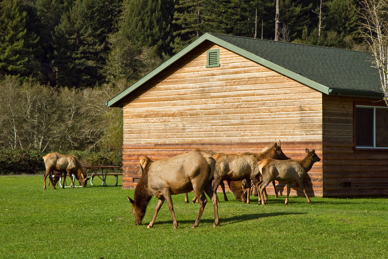 Elk at resort near Orick, California