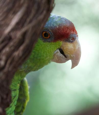 Red-crowned Parrot (Amazona viridigenalis)