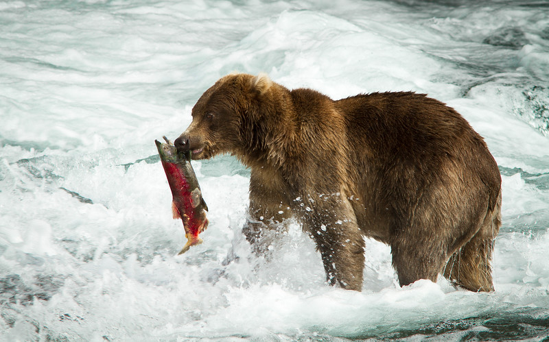 Fishing grizzly, Katmai National Park