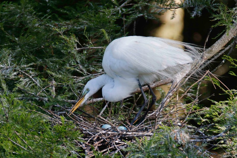 Egret and Eggs.jpg