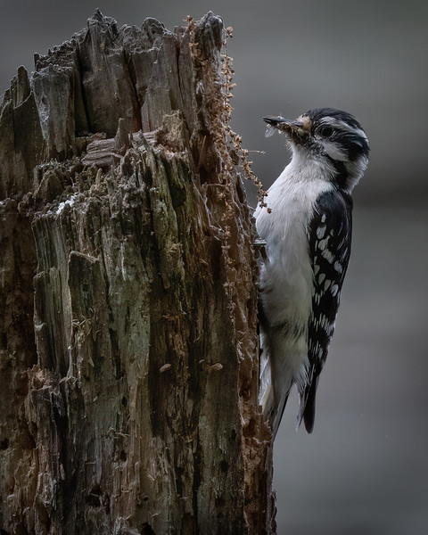 _6005996-Edit Downy Woodpecker female with bug.jpg