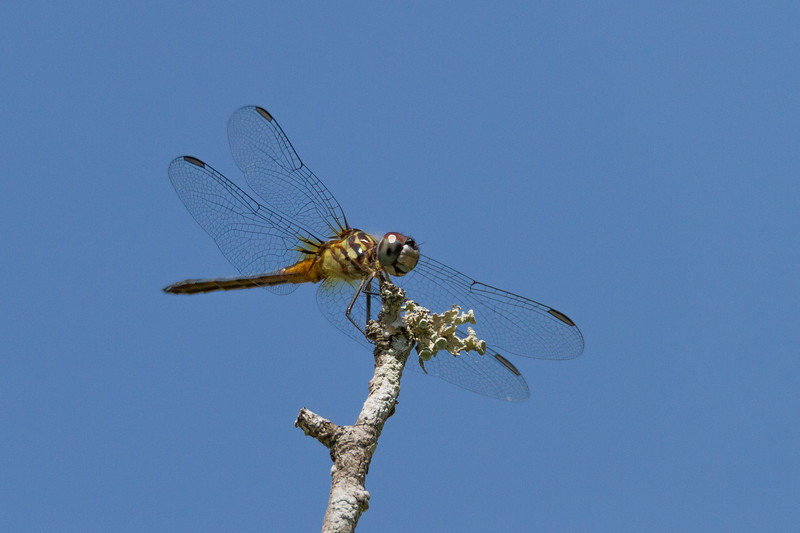 Blue Dasher - Pachydiplax longipennis