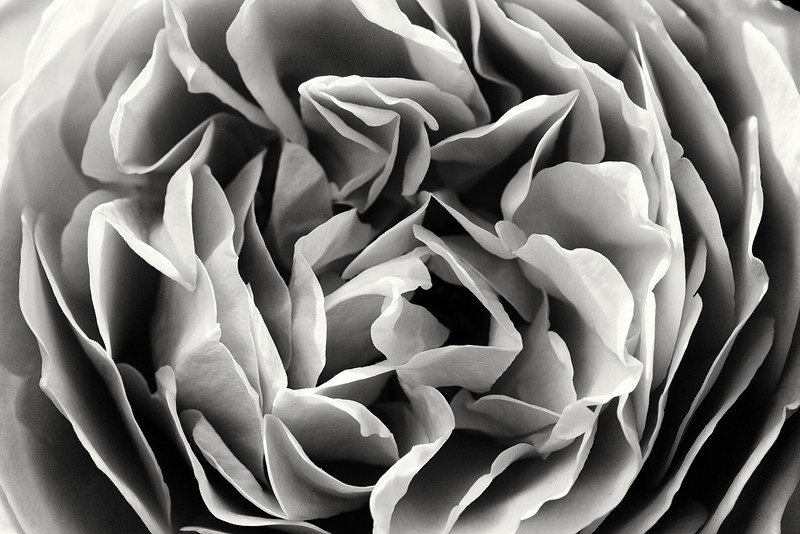 rose-teasing-georgia-02.jpg