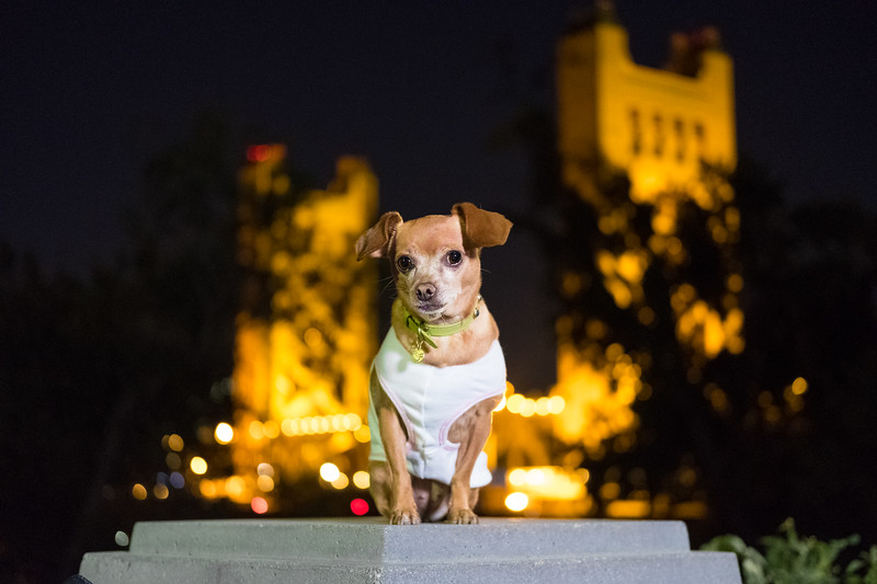 Chihuahua in front of Sacramento Bridge