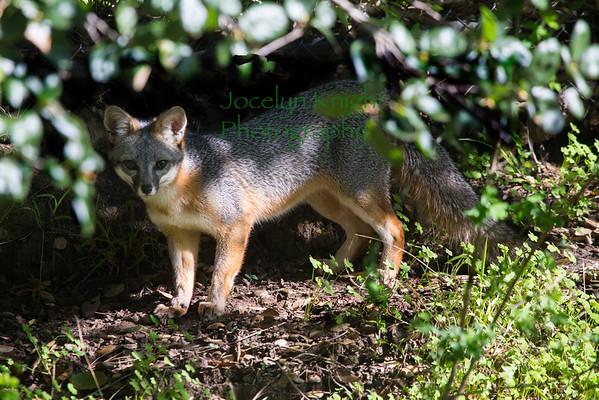 Marin County Wildlife