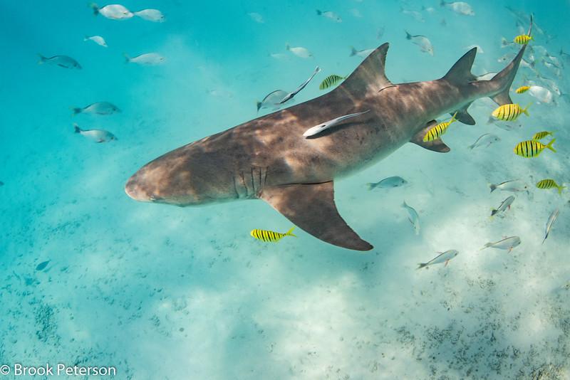 Lemon Shark and Pilot Fish