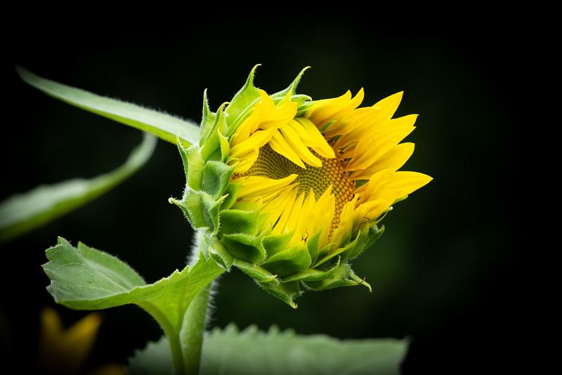 Sunflower Bud Stage