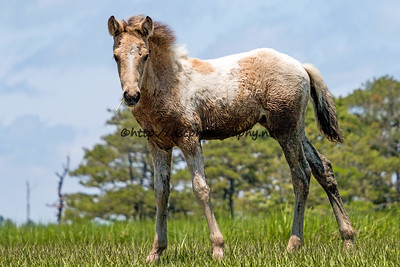 Calceti'n's Filly