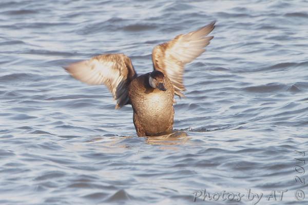 2011-11-09 Riverlands Migratory Bird Sanctuary