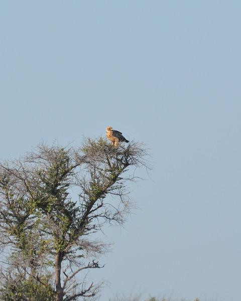 25 - Tawny Eagle - Kalahari - Anne Davis