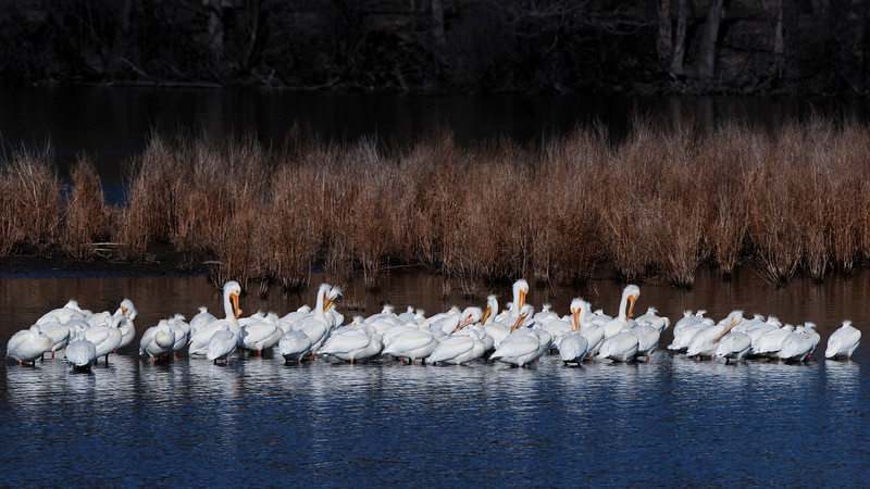 North America Pellicans - Fox River Duck Island Batavia, IL March 2011