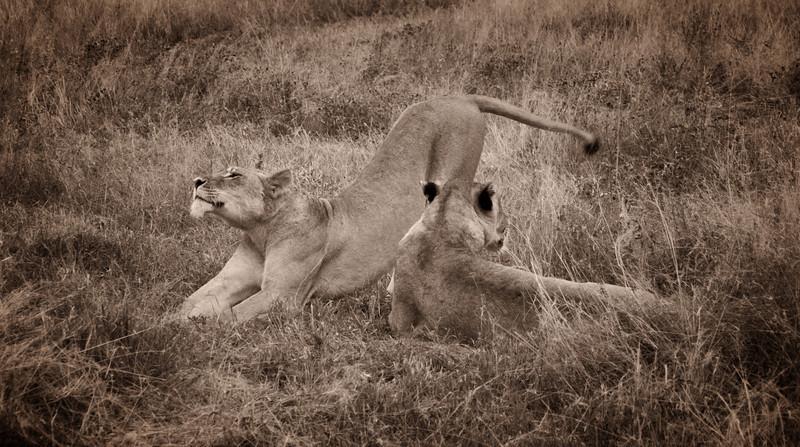 Mark-Fletcher-Stretching Lion.jpg