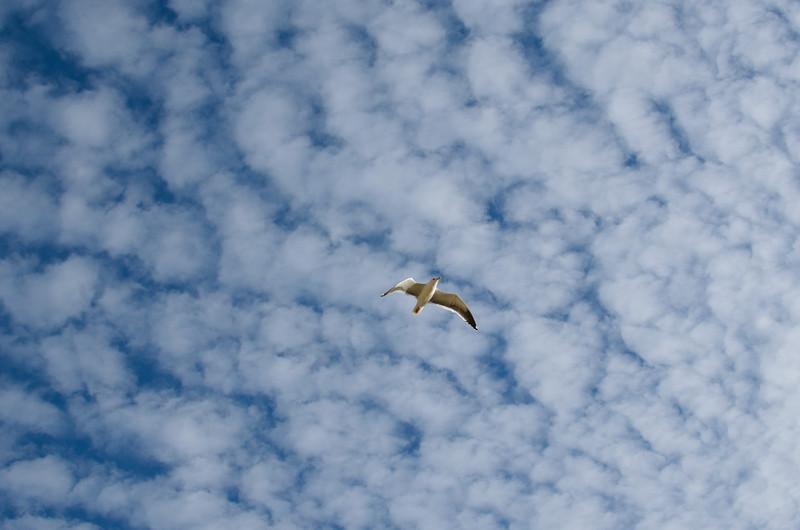 A sea gull above Arroyo Burro beach in Santa Barbara, CA.