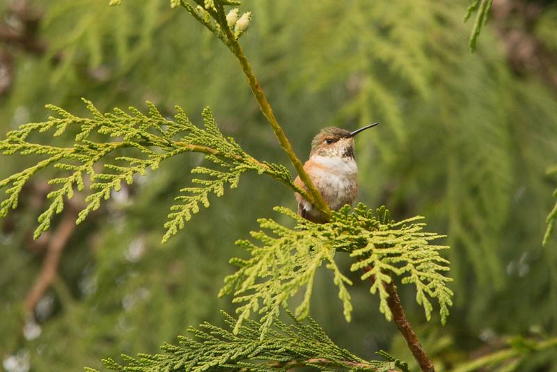 HUMMING BIRDS (13 of 104).jpg