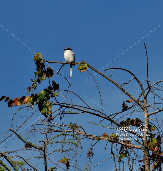 Loggerhead Shrike in the Florida Everglades