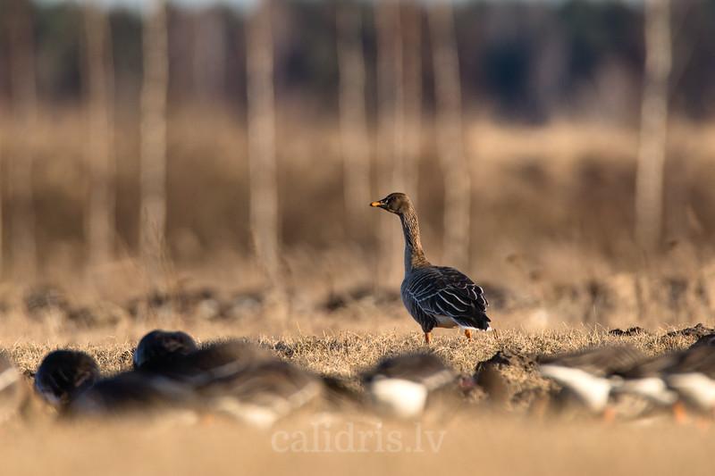 Zosis pulcējas laukā pie Babītes ezera pavasara migrācijas laikā