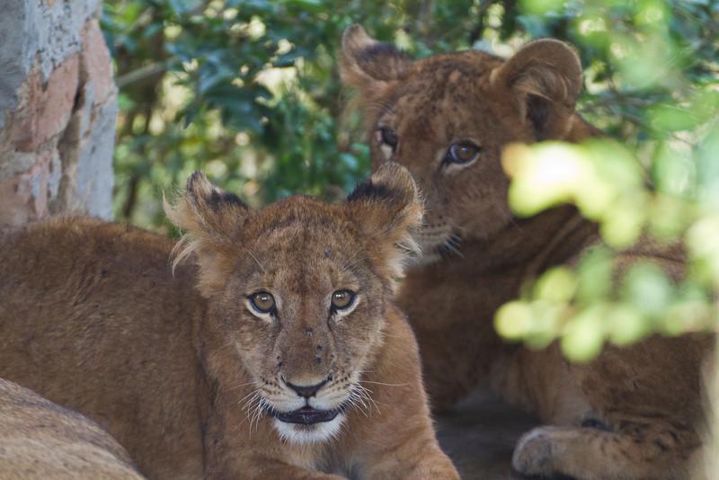Lioness / Löwin