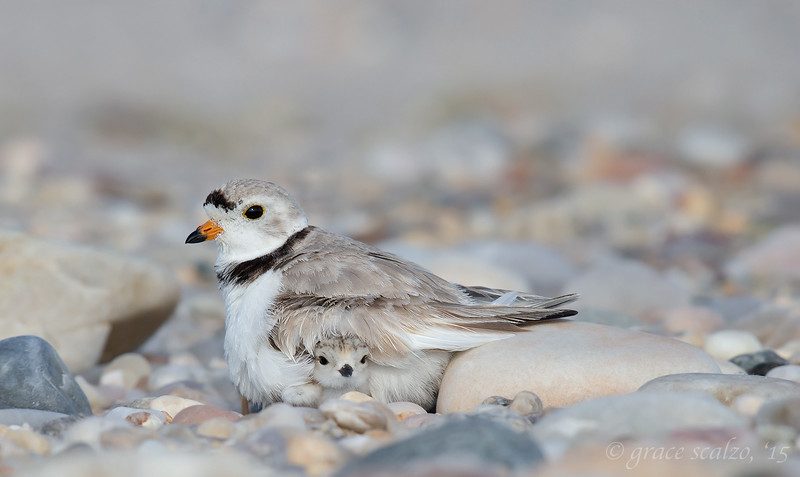 Piping Plover with Chick