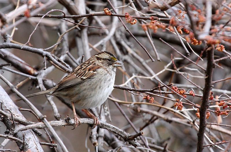 white-throated-sparrow_3285075055_o.jpg