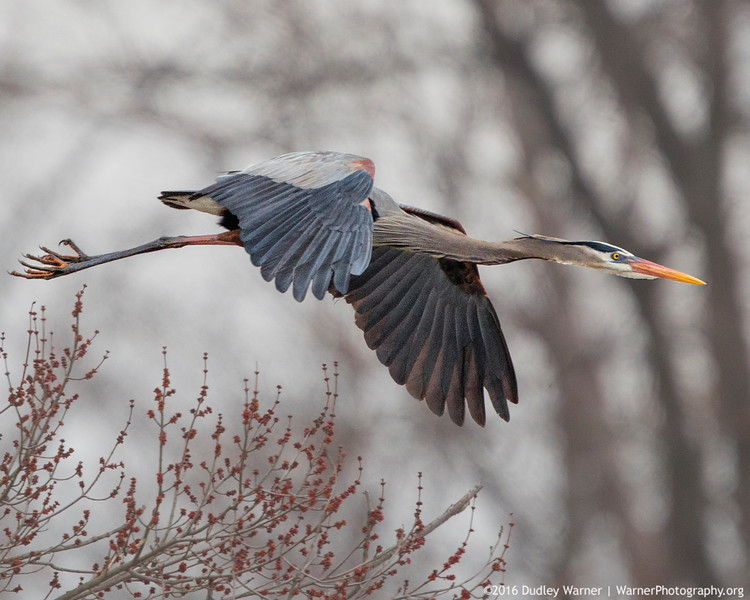 Great Blue Heron in Flight (2).jpg