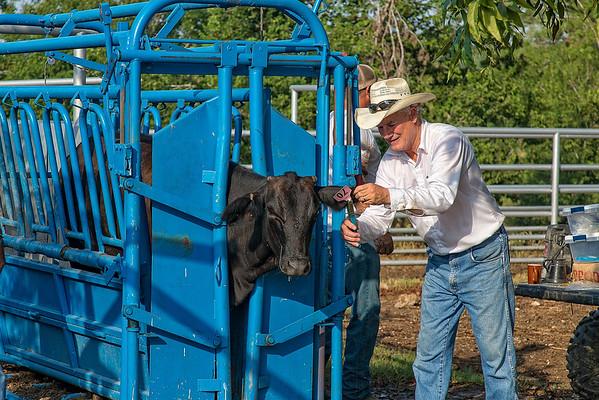 Working Heifers Video Fall 2015