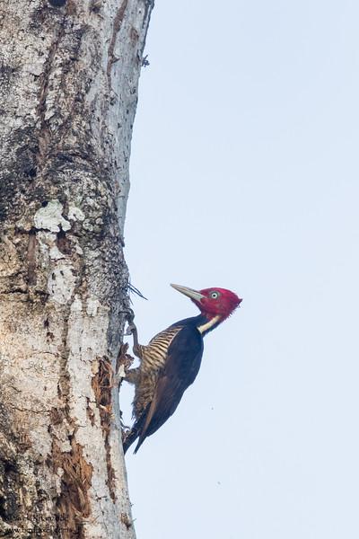Pale-billed Woodpecker - Green Hills, Belize