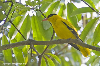 CROWS, ORIOLE, CUCKOO-SHRIKE, TRILLER, MINIVETS AND DRONGOS