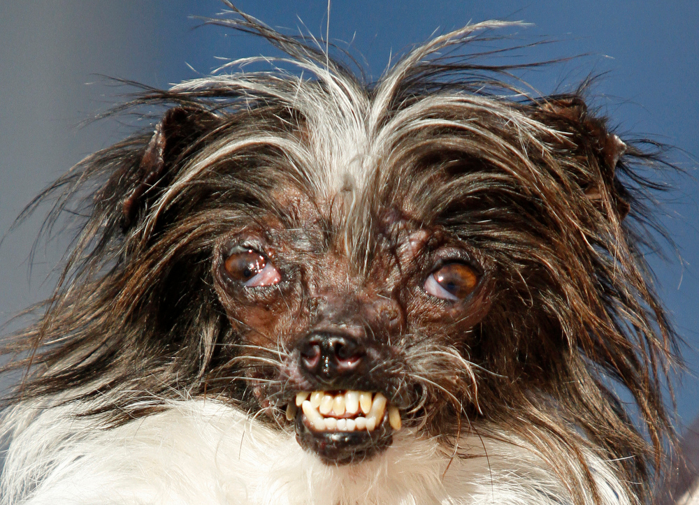 . Peanut, a two-year-old mutt is held by Holly Chandler, the owner after winning the World\'s Ugliest Dog Contest, at the Sonoma-Marin Fair, Friday, June 20, 2014, in Petaluma, Calif. Chandler and Peanut are from North Carolina. (AP Photo/George Nikitin)