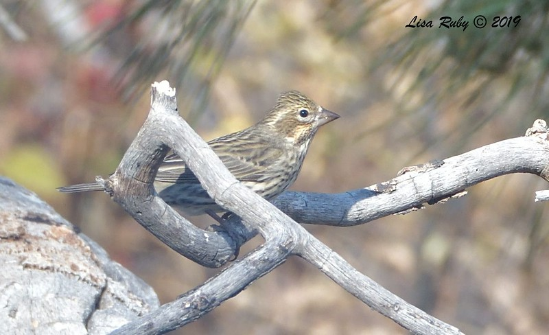 Cassin's Finch 11/16/2019 - Mt Laguna, Water Trough West Meadow