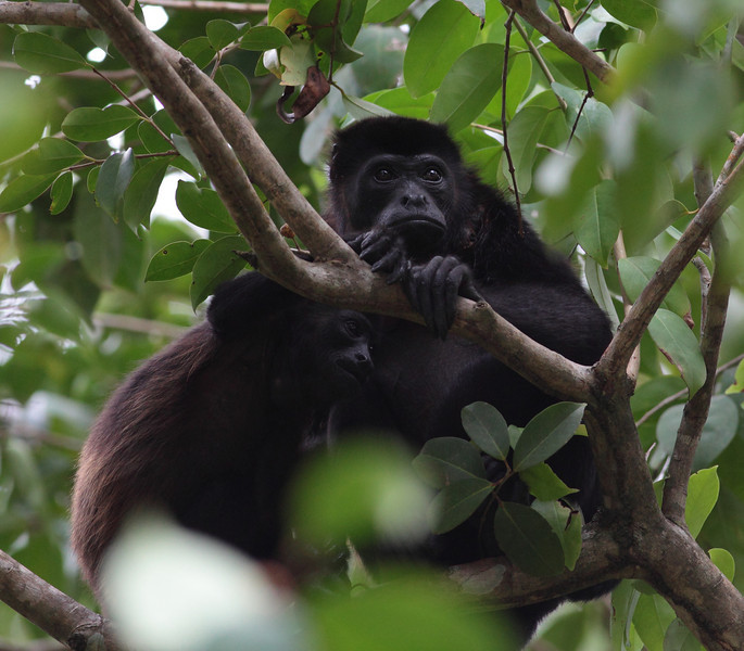 costa_rica_howler_monkey_16.JPG