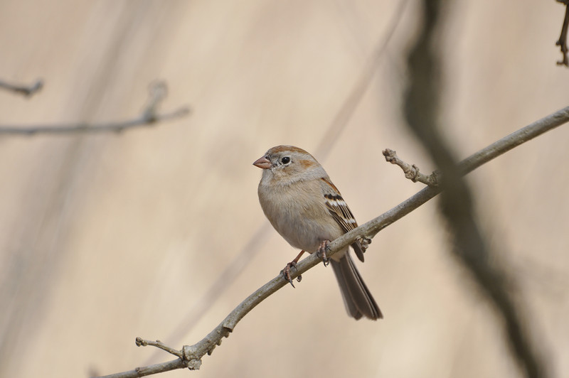 Field Sparrow (Gray) _DSC4413